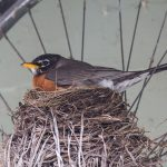 Robin nesting on road bicycle, Ward's Island, Toronto Island