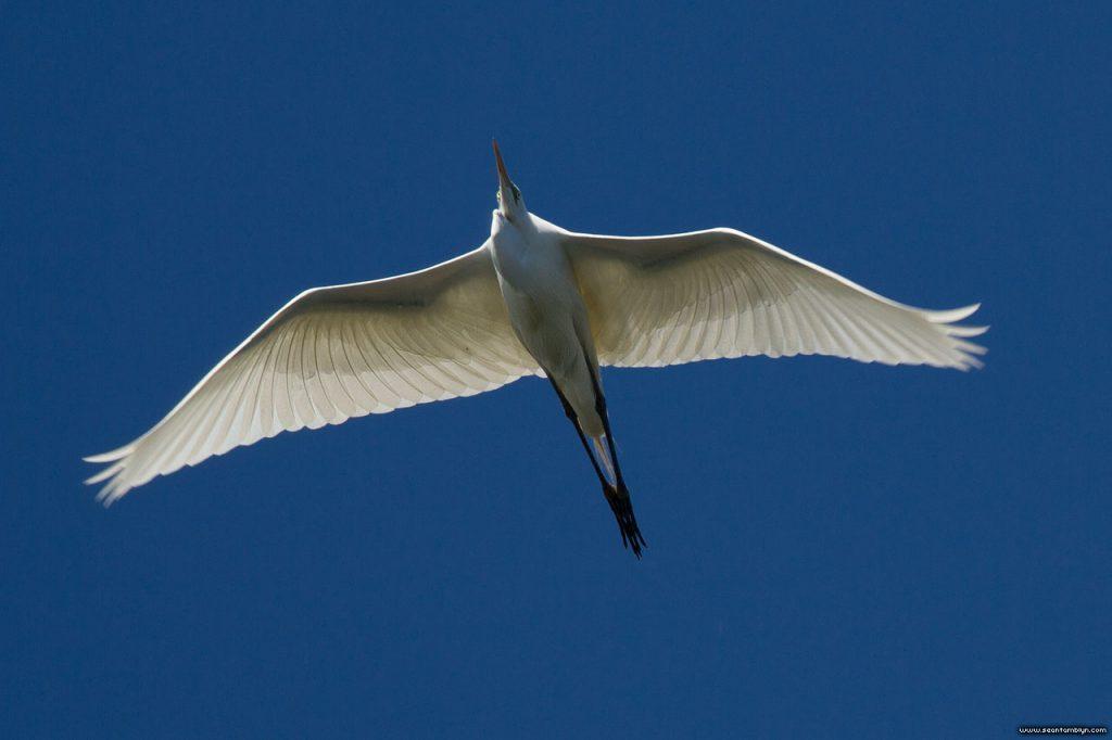 Backlit great egret, Long Pond, Centre Island, Toronto Islands