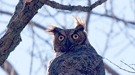Great horned owl, Snake Island, Toronto Islands