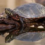 Painted Turtle, Doughnut Island, Toronto Islands