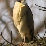 Black-crowned night heron, Centre Island, Toronto Islands