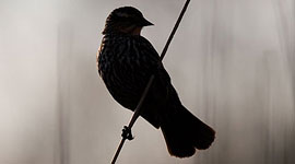 Blackbird silhouette, Ward's Island, Toronto Islands