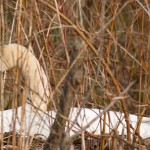 Mute swan on nest, Centre Island, Toronto Islands