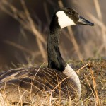 Canada goose on nest, Doughnut Island, Toronto Islands