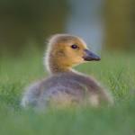 Canada goose gosling, Centre Island, Toronto Islands