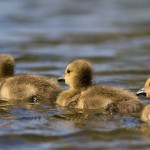 Canada goose goslings, Algonquin Island, Toronto Islands