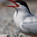 Common tern, Hanlan's Point, Toronto Islands