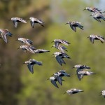 Common terns, Hanlan's Point, Toronto Islands