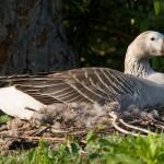 Goose on nest, Centre Island, Toronto Islands
