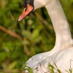 Mute swan on nest, Doughnut Island, Toronto Islands