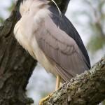Sleeping black-crowned night heron, Doughnut Island, Toronto Islands