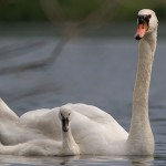 Mute swan and cygnet, Centre Island, Toronto Islands