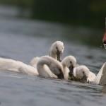 Feeding mute swan cygnets, Centre Island, Toronto Islands
