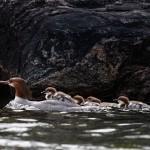 Merganzer duckings on mothers back, Massassauga Provincial Park, Georgian Bay