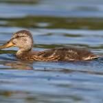 Adolescent mallard duck, Snake Island, Toronto Islands
