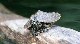 Baby map turtle, Snake Island, Toronto Islands