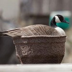 Canada goose nesting in pot, Algonquin Island, Toronto Islands