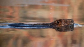 Beaver reflection, Snake Island, Toronto Islands