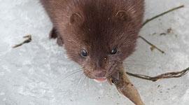 Feeding mink, South Island, Toronto Islands