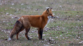 Red fox, Ward's Island, Toronto Islands
