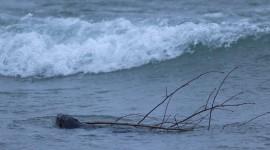Beaver in winter surf, Ward's Island, Toronto Islands