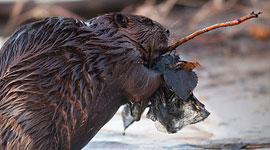 Beaver walking upright, Algonquin Island, Toronto Islands