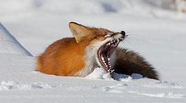 Yawning red fox, Algonquin Island, Toronto Islands