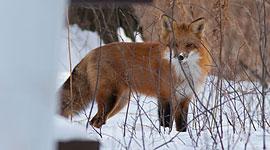 Fox and cat, Ward's Island, Toronto Islands