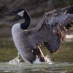 Landing Canada goose, Hanlan's Point, Toronto Islands
