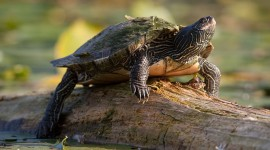 Painted turtle, Trout Pond, Toronto Islands