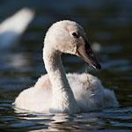 Mute swan juvenile, Centre Island, Toronto Islands