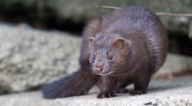 Mink, Centre Island, Toronto Islands