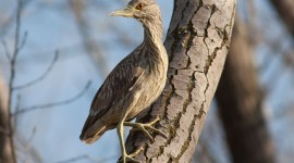 Juvenile black-crowned night heron, Hanlan's Point, Toronto Islands