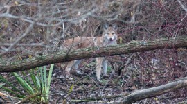 Coyote, Doughnut Island, Toronto Islands
