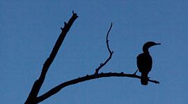 Backlit cormorant, Doughnut Island, Toronto Islands