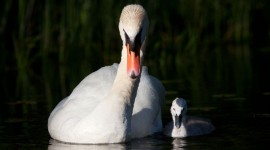 Mute swan cygnet, Hanlan's Point, Toronto Islands