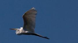 Great egret in flight, Doughnut Island, Toronto Islands