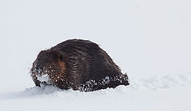 Winter beaver, Ward's Island, Toronto Islands