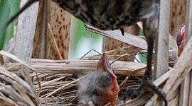 Feeding blackbird chick, Trout pond, Toronto Islands