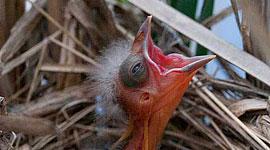 Blackbird chick, Trout pond, Toronto Islands