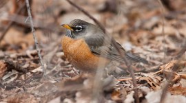 Spring Robin, Centre Island, Toronto Islands