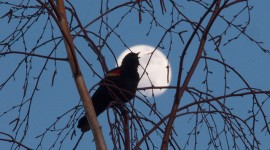 Blackbird and Supermoon, Ward's Island, Toronto Islands