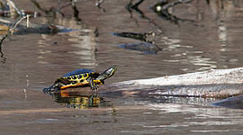 Early red-eared slider turtle, Snug Harbour, Toronto Islands
