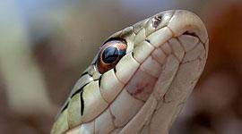 Garter snake, Ward's Island, Toronto Islands