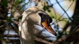 Nesting mute swan, Snug Harbour, Toronto Islands