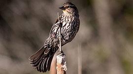 Female blackbird, Doughnut Island, Toronto Islands