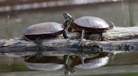 Painted turtles on log, Doughnut Island, Toronto Islands