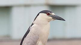 Black-crowned night heron, Ward's Island, Toronto Islands