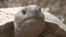 Gopher tortoise, Kennedy Space Centre, Florida