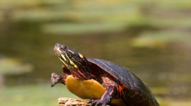 Three-legged painted turtle, Doughnut Island, Toronto Islands
